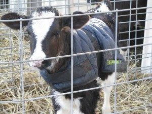 Lottie the lucky calf